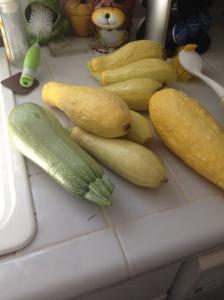 Squash harvest!